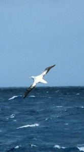 Wandering Albatross Photo FIltered.