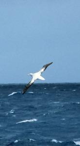 Wandering Albatross Photo FIltered.
